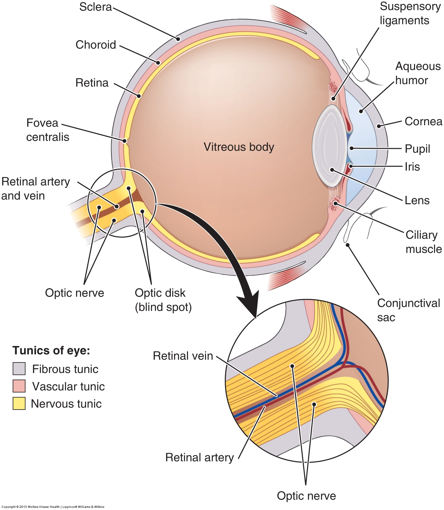 Eye Diagram Map Schematics Wiring Diagrams For Kids Anatomy Of The Human Ch Free Engine Image User Manual Labeled